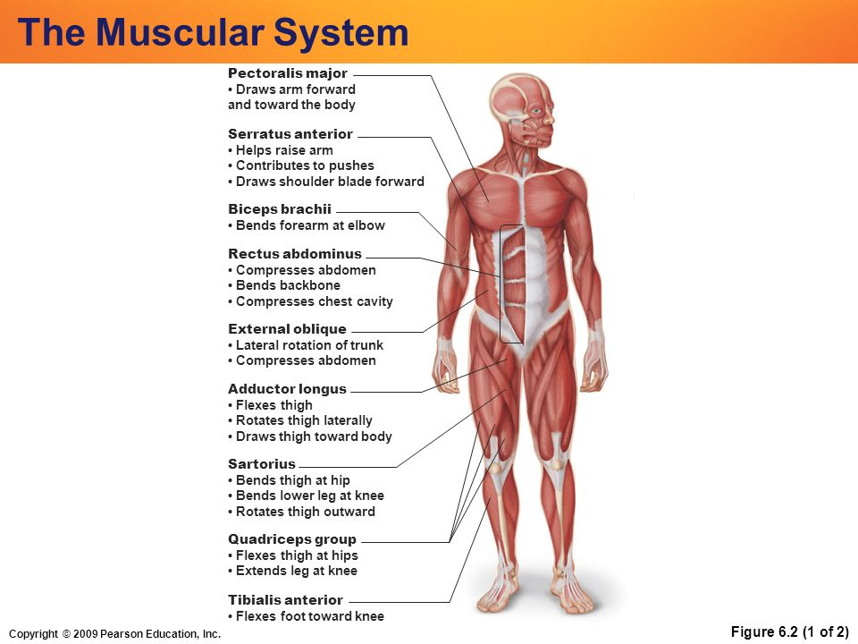 Copyright © 2009 Pearson Education, Inc. The Muscular System ...