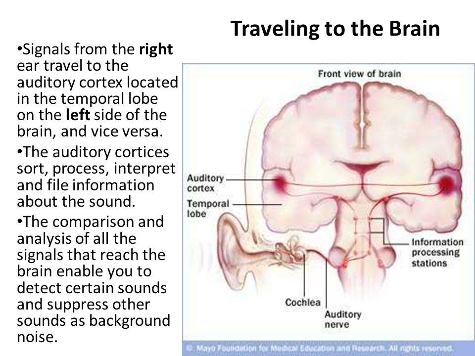 The Brain Our Control Center Psychology Chapter 3 Section Ppt