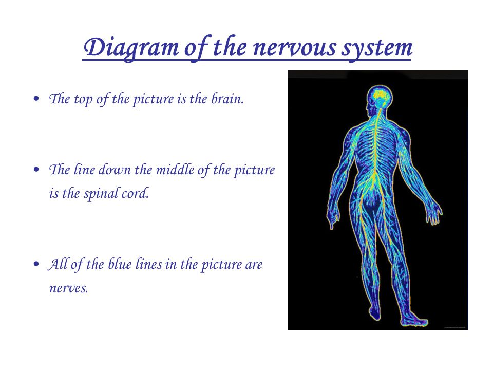 Diagram Of The Nervous System The Top Of The Picture Is The Brain