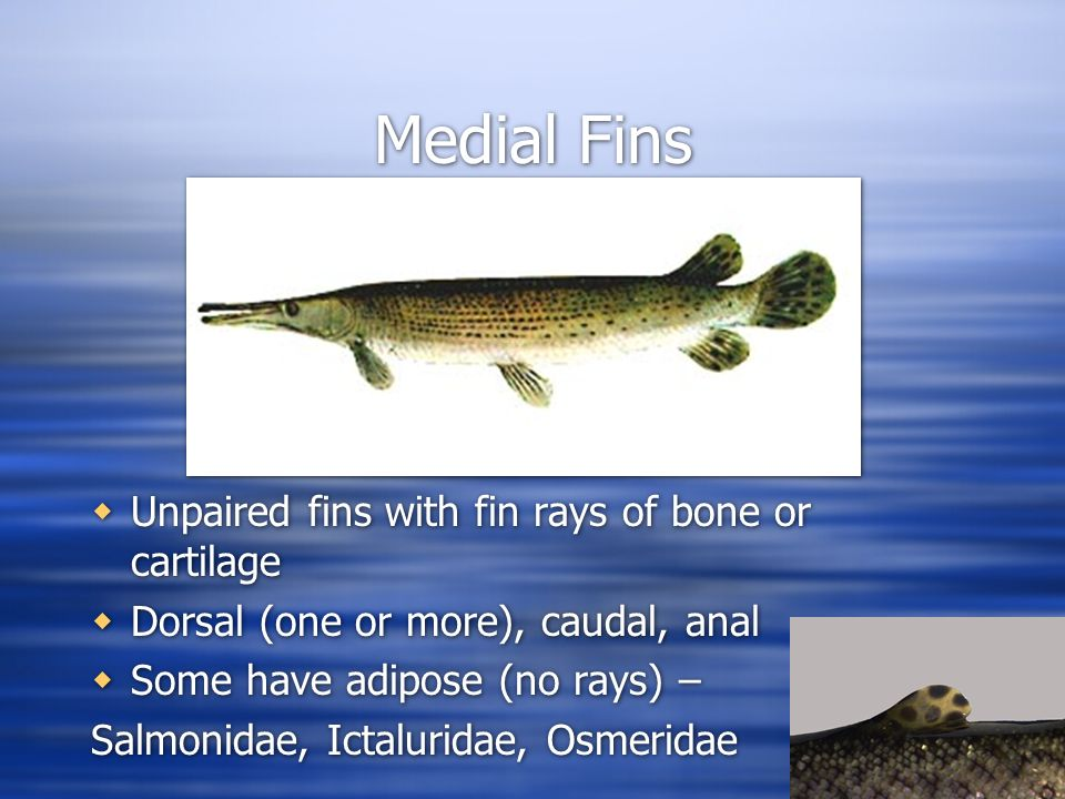 General External Anatomy. Medial Fins  Unpaired fins with fin rays ...
