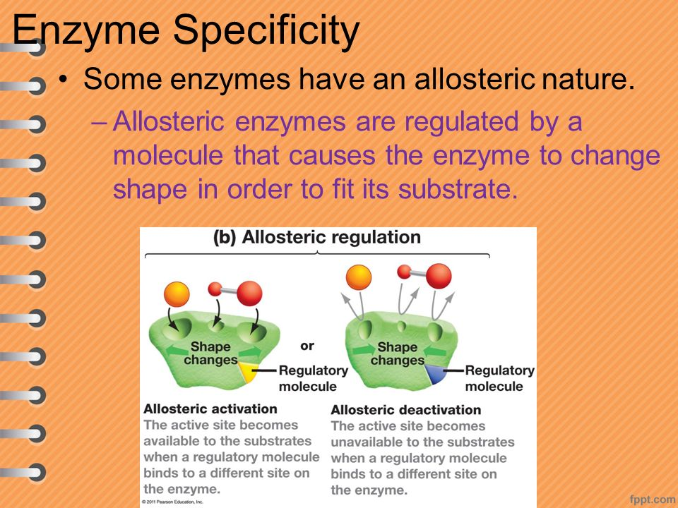 Enzyme Specificity Some enzymes have an allosteric nature.