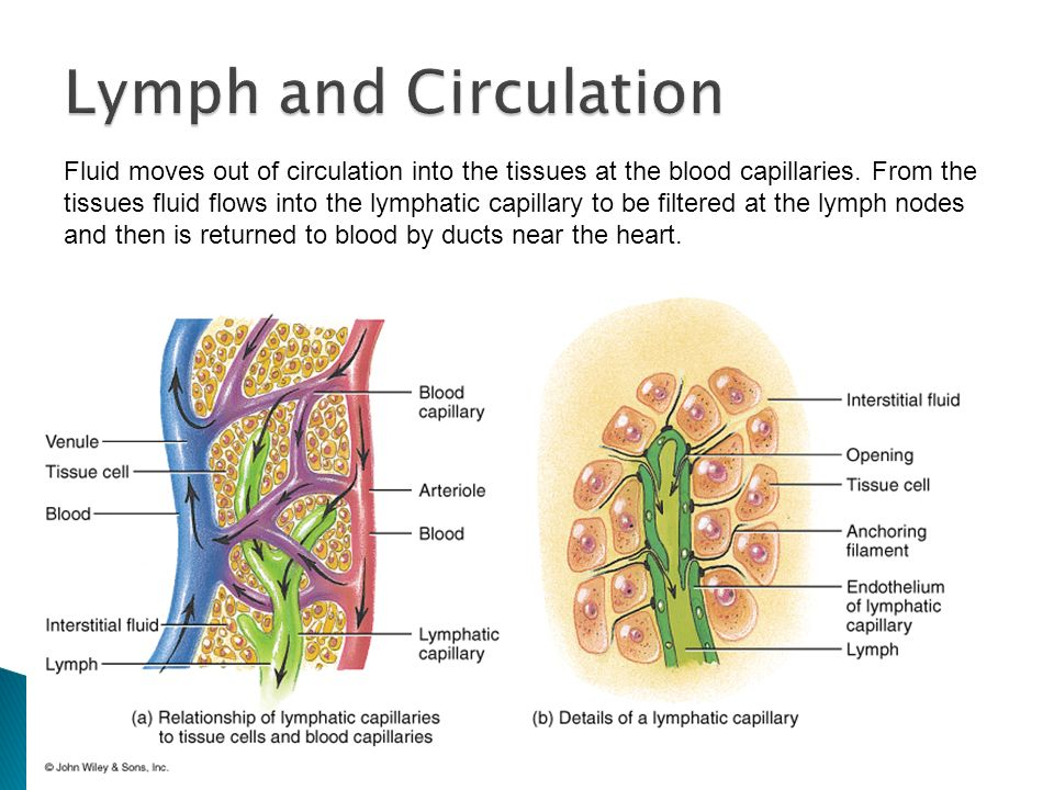 sc 912 l what are lymph nodes why do my lymph nodes sometimes rh slideplayer com Lymphatic System Diagram Lymph Node Diagram