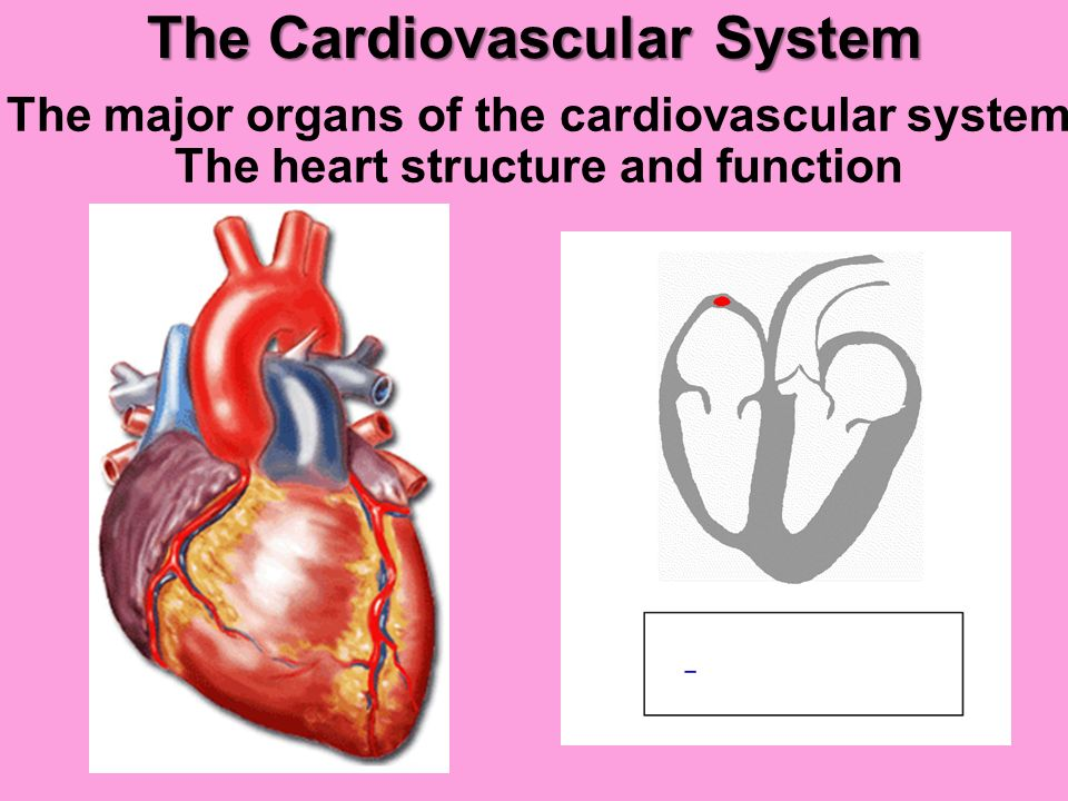 describe the physiology of the cardiovascular The heart is a muscular organ about the size of a closed fist that functions as the body's circulatory pump it takes in deoxygenated blood through the veins and delivers it to the lungs for oxygenation before pumping it into the various arteries (which provide oxygen and nutrients to body tissues by transporting the blood throughout the body.