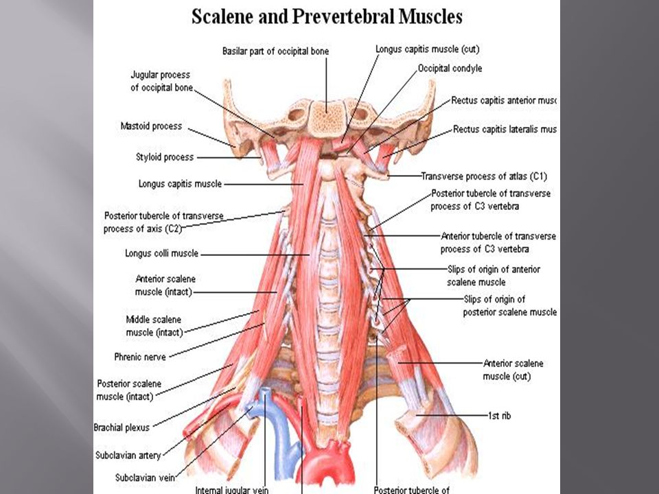 Dr Mujahid Khan The Scalenus Anterior Muscle Is A Key Muscle In