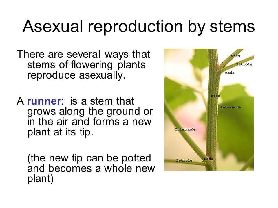 Plants asexual reproduction