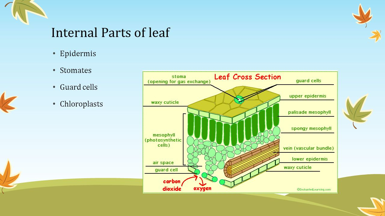 Horticulture I 300 Plant Anatomy Mrs Schratwieser Ppt Download