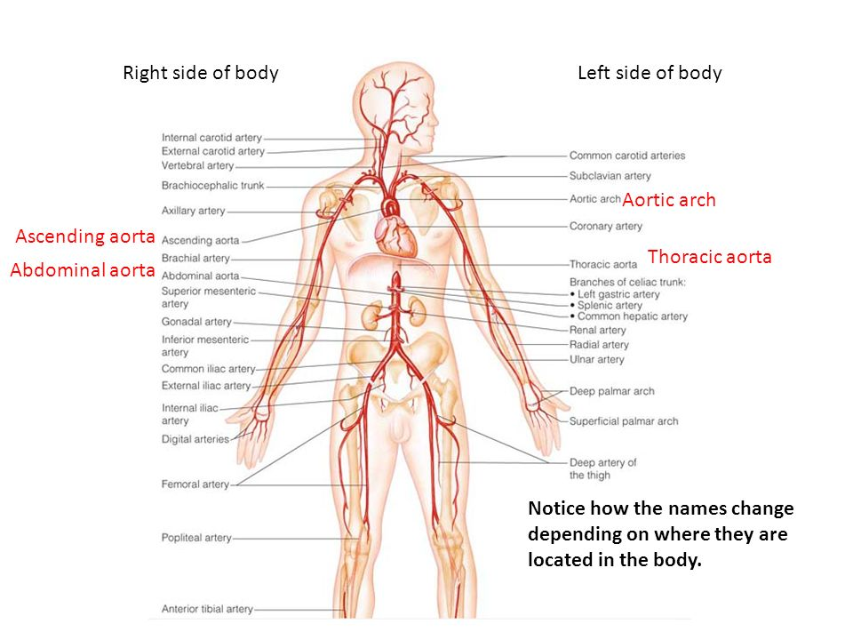 Objectives Identify The Bodys Major Arteries And Veins And Name