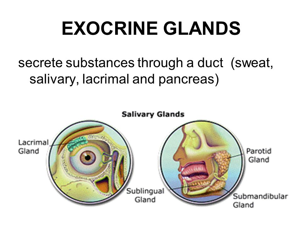 Endocrine Glands Secrete Hormones Directly Into Bloodstream Ductless