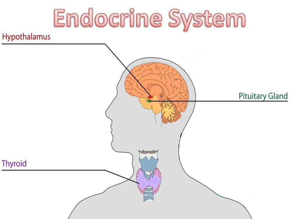 Endocrine System Overview Physically Disconnected Controls Growth