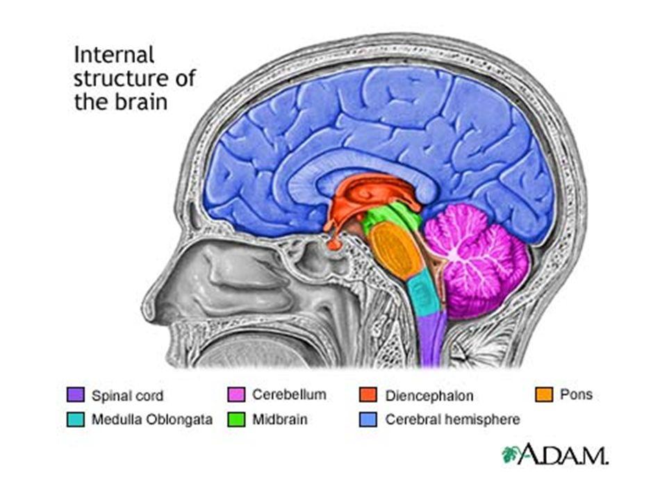 Lecture No 12 The Brainstem Medulla Oblongata Anatomy Iv