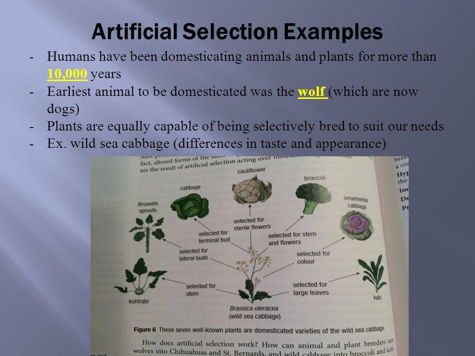 Lesson 5 Evolution Natural Selection Vs Artificial Selection