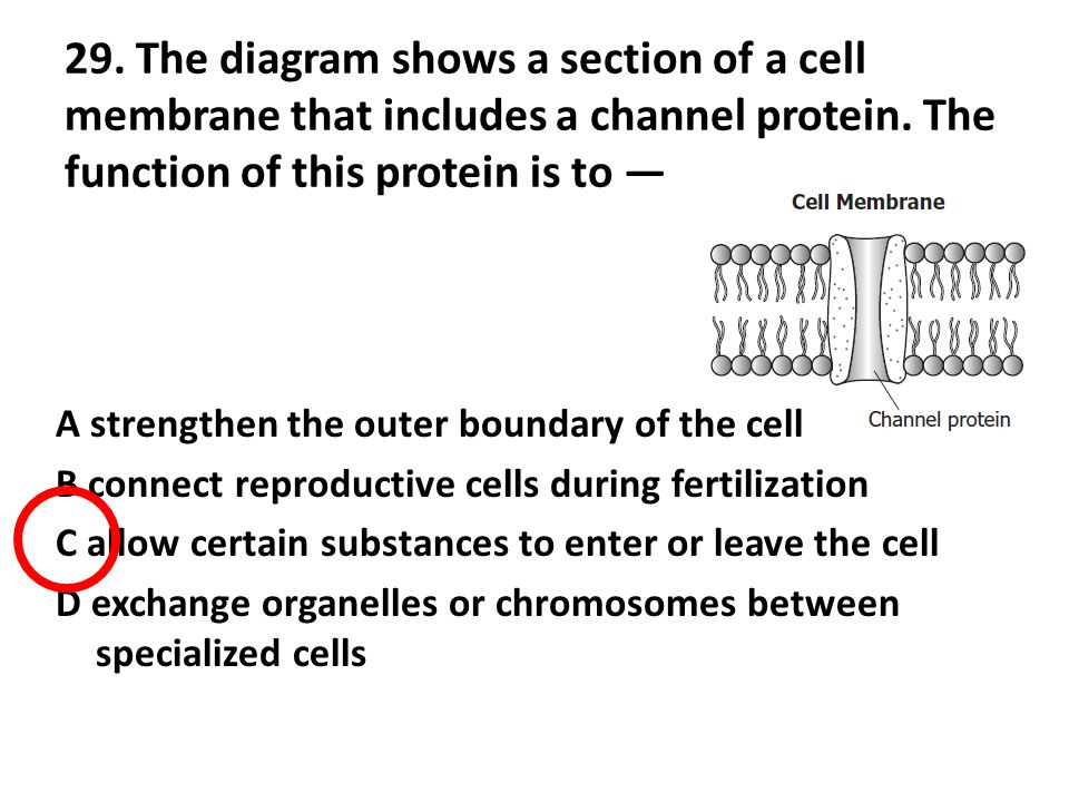 End of course biology spring 2008 released test 1 a student the diagram shows a section of a cell membrane that includes a channel protein ccuart Gallery