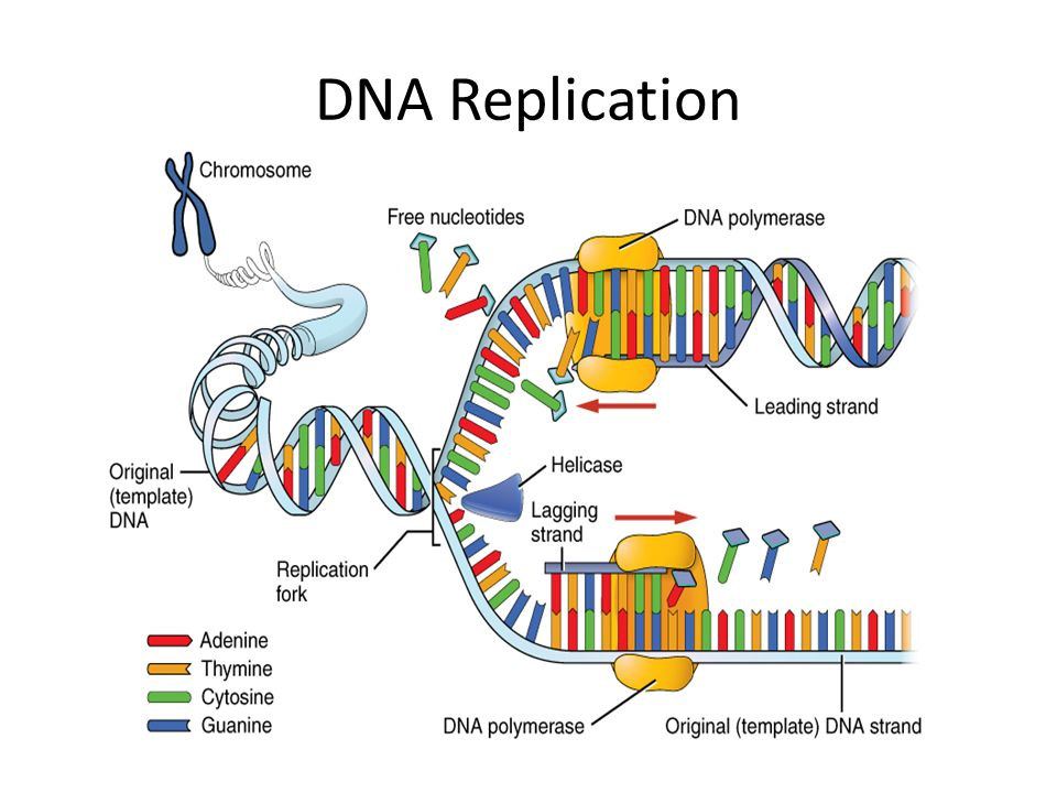 how is protein synthesis different from dna replication