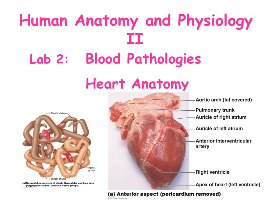 Human Anatomy And Physiology Ii Lab 2 Blood Pathologies Heart