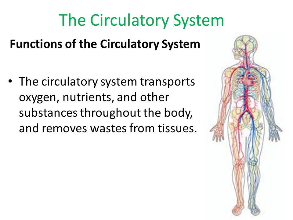 Chapter 33 Circulatory System  The Circulatory System