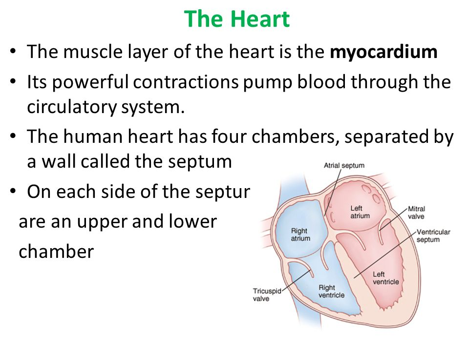 essay about the heart and circulatory system Circulatory system scie 206-1004a12 april nixon 9/19/2010 the heart and lungs are both found in the circulatory system there are also blood vessels which play an important part in the human body's circulatory system.
