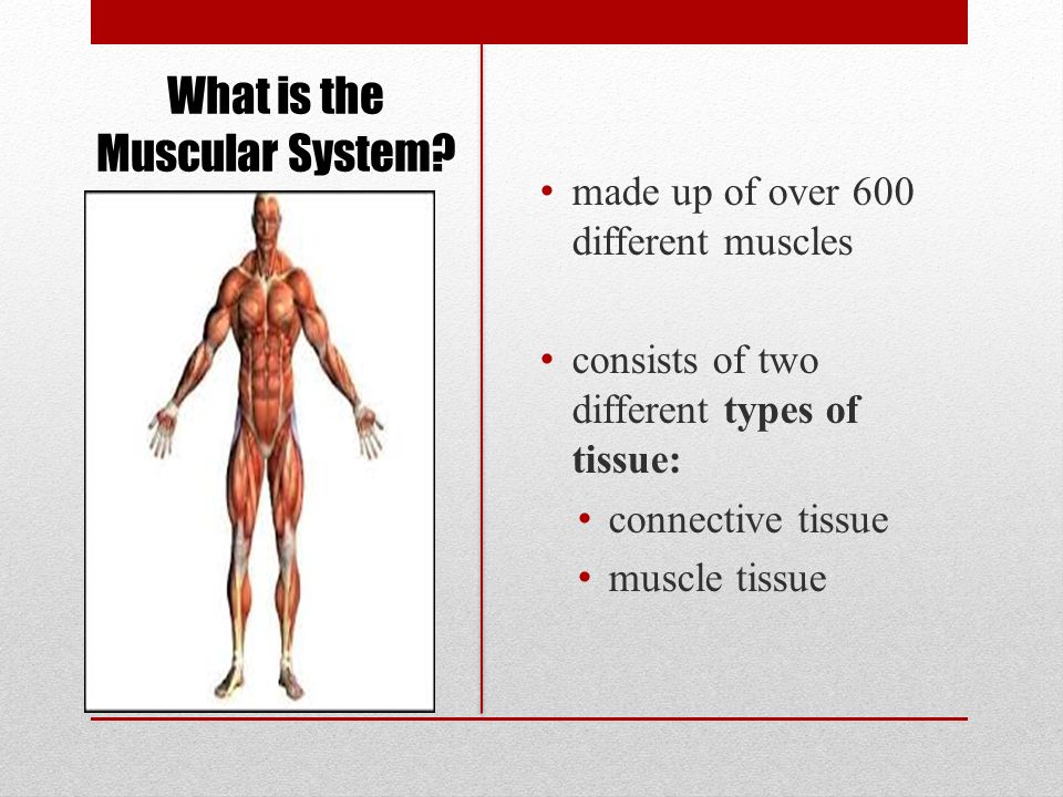 The Muscular System Goal: To describe the structure and function of ...