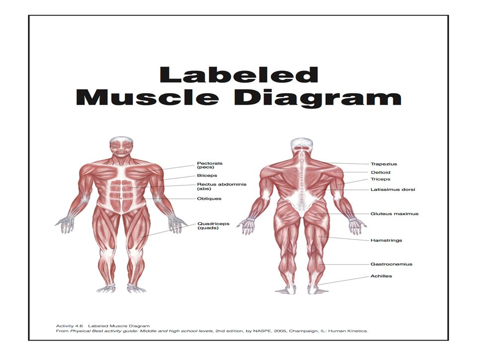 The Muscular System Goal To Describe The Structure And Function Of