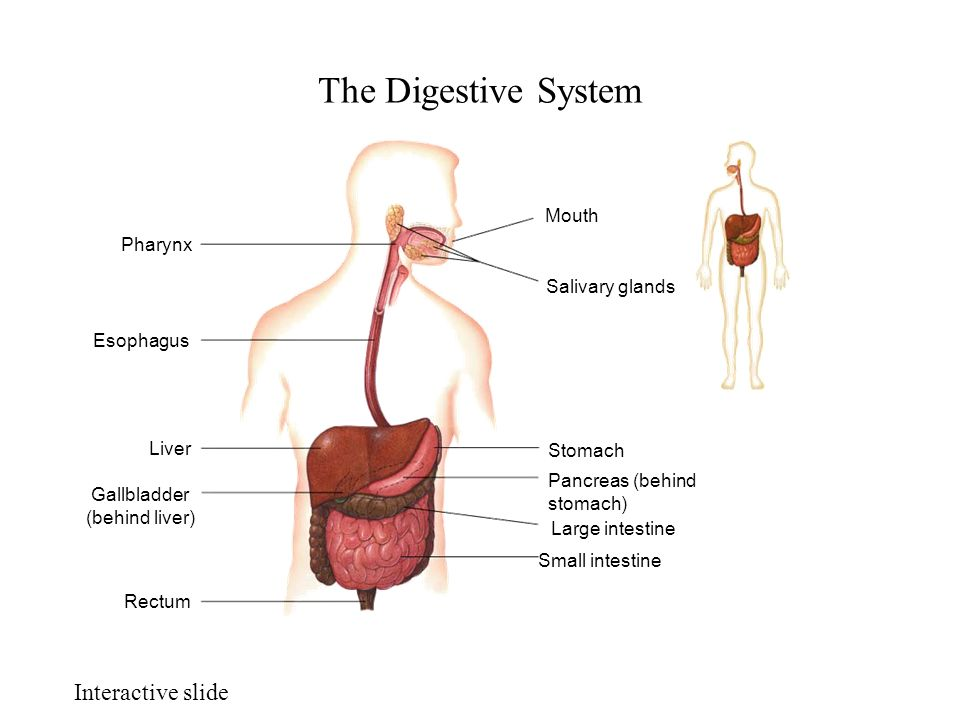 Chapter 18 Digestive And Excretory System Essential Question How