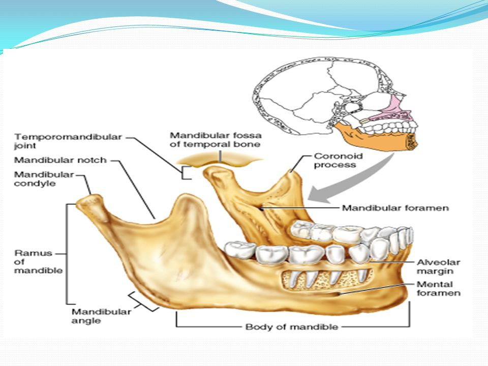 Anatomical landmarks of the Mandibular arch - ppt video online download