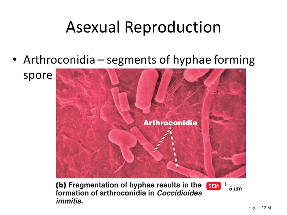 Arthroconidium formed by fragmentation asexual reproduction