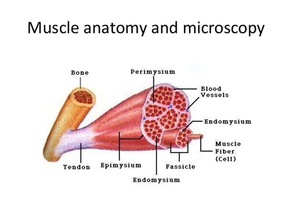 Skeletal muscle diseases a. The muscular dystrophies. - Describe ...