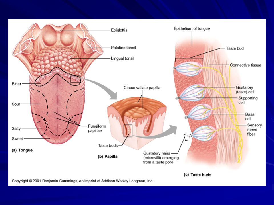 Physiology Ii Phl 226 Sensory System How Does The Central Nervous