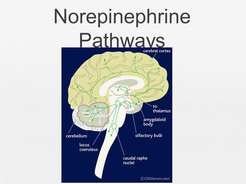 Psychopharmacology Rachad Rayess, M.D.. Outline Brain Anatomy Brain ...