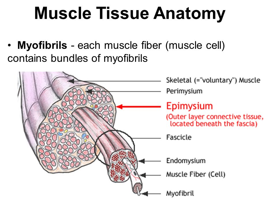 Muscle Tissue & Skeletal Muscle Notes. 3 Types of Muscle Tissue ...