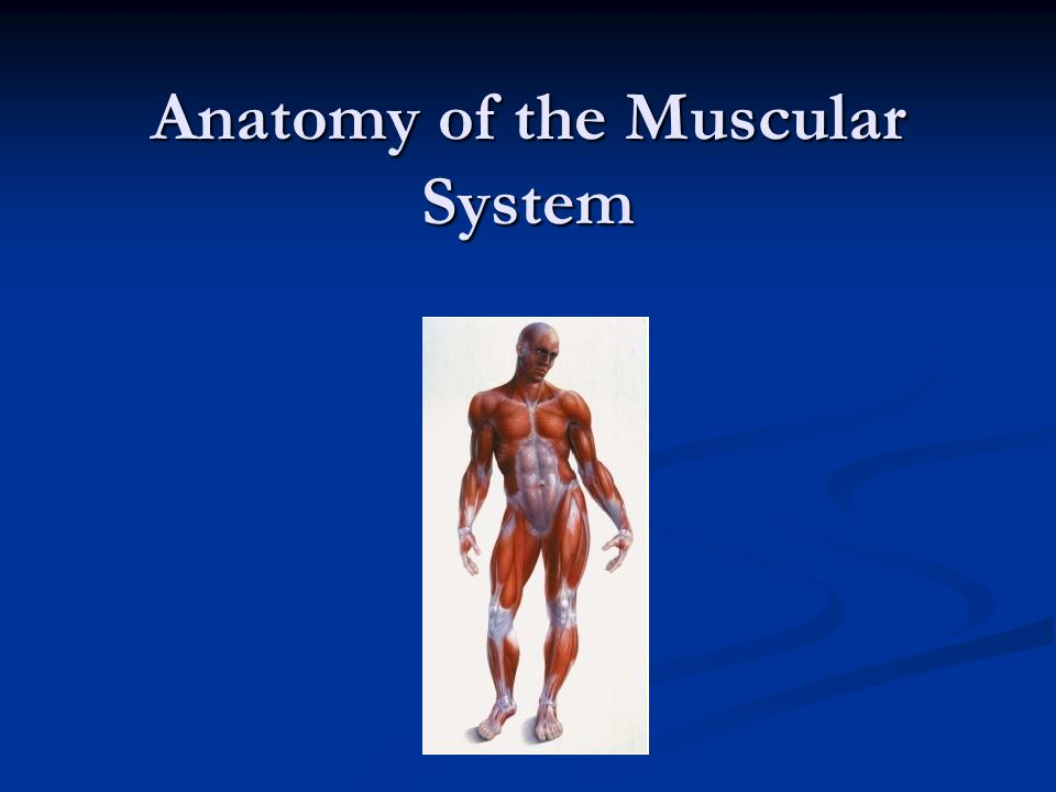 Anatomy of the Muscular System. Interesting Facts Muscles are ...