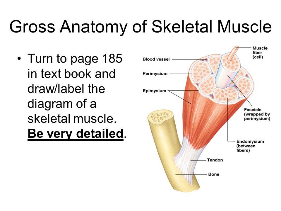 Honors Anatomy Nov 16 Sap2b Explain How The Skeletal Structures