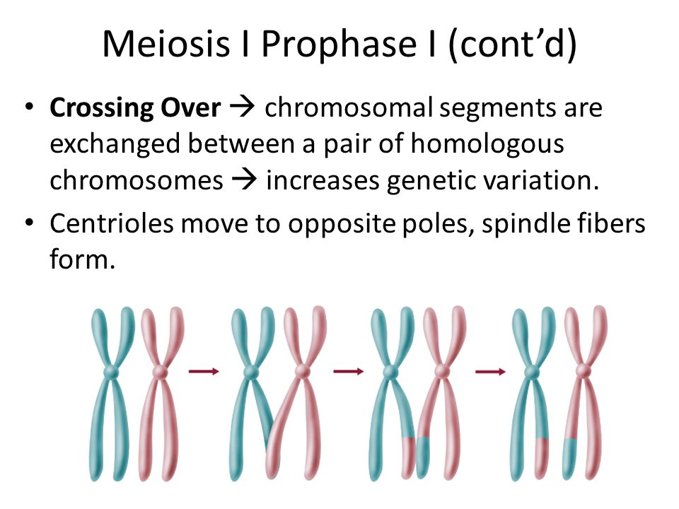 Meiosis I Prophase I Nucleus disappears Replicated chromosomes become visible  each with two sister chromatids.