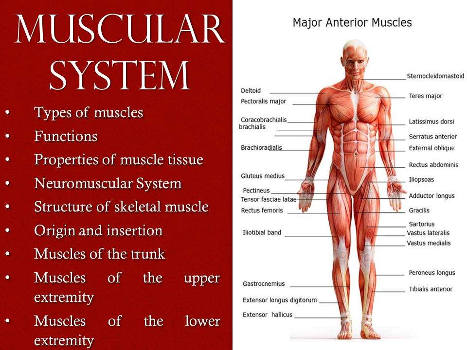 Muscular System Types Of Muscles Types Of Muscles Functions