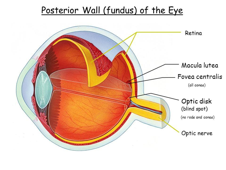 Special Senses Week 12. Exterior Eye Anatomy 1?2? 3? - ppt download