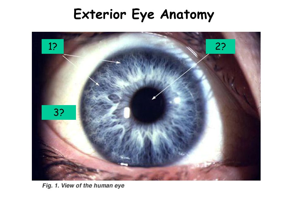 Special Senses Week 12. Exterior Eye Anatomy 1?2? 3? - ppt download