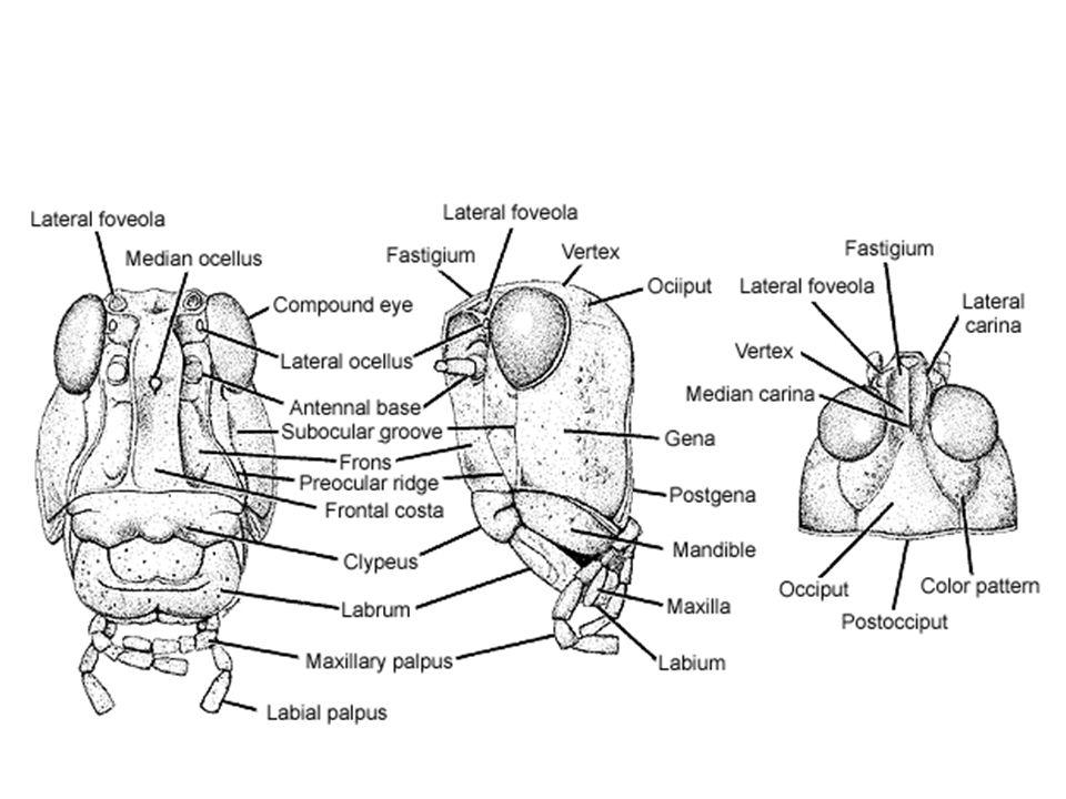 Laboratorio Phylum Arthropoda Subphylum Hexapoda Ppt Download