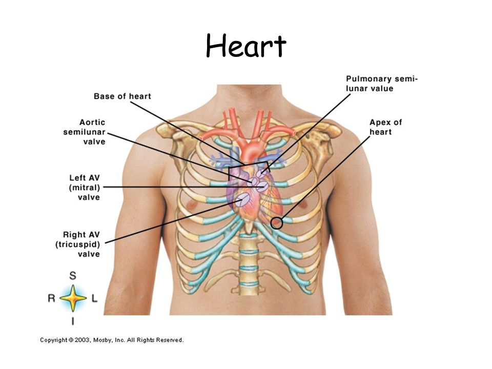 Anatomy of the Cardiovascular System. Cardiovascular System Also ...