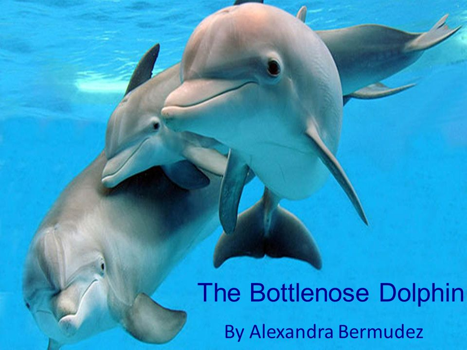 The Bottlenose Dolphin By Alexandra Bermudez. Anatomy External ...