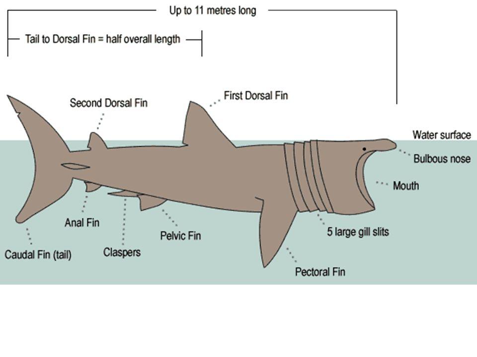 Whale Shark Internal Anatomy Diagram - DIY Enthusiasts Wiring Diagrams •