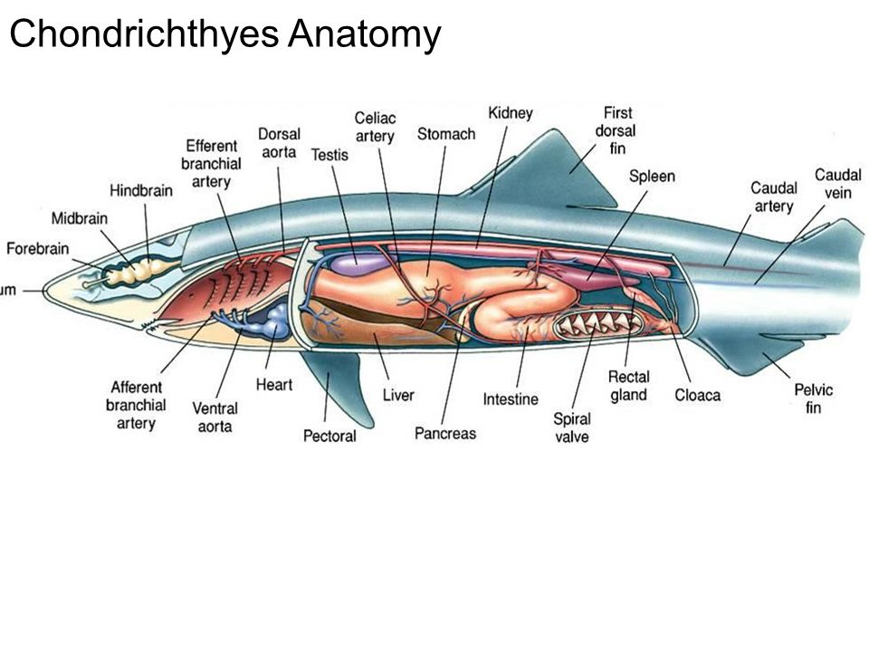 Diagram Of A Chondrichthyes - Trusted Wiring Diagram •