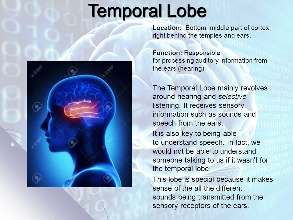Temporal Lobe Location: Bottom, middle part of cortex, right behind the temples and ears.