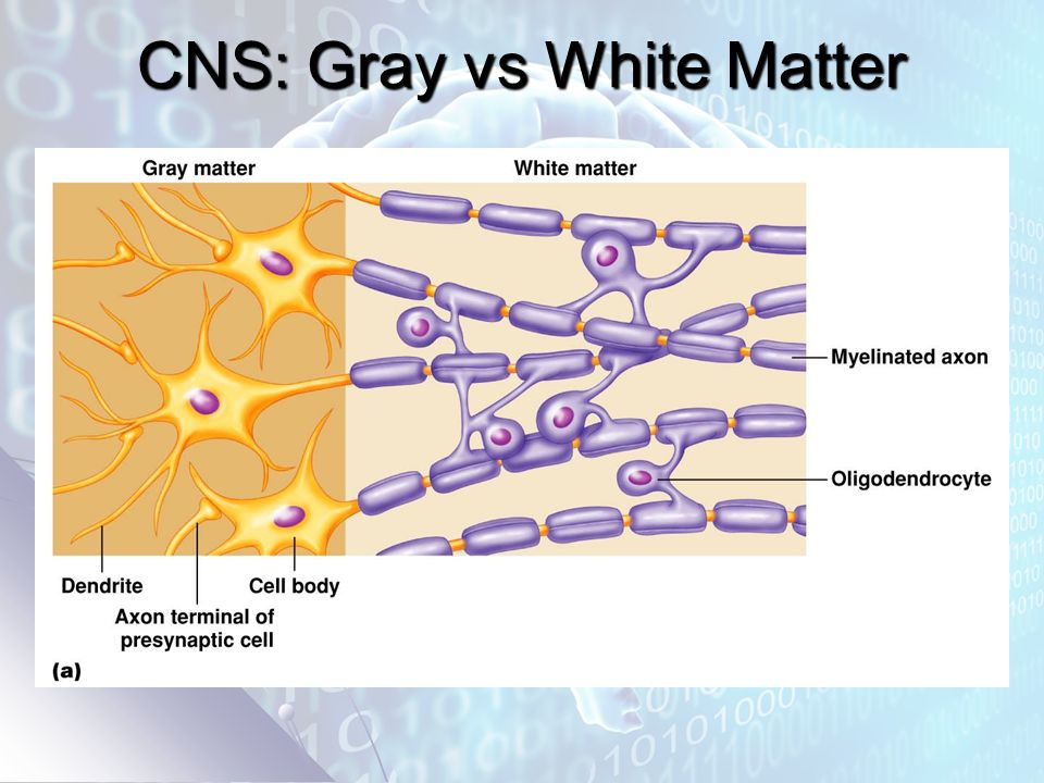 CNS: Gray vs White Matter