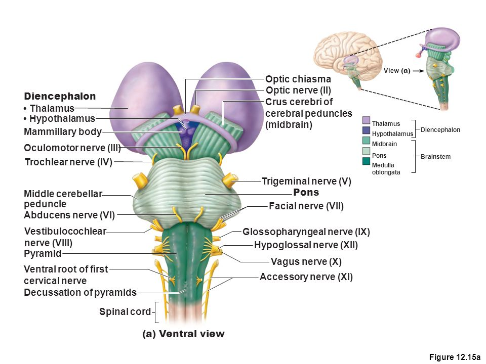 CNS Physiology For Bio 260. Regions and Organization of the CNS ...