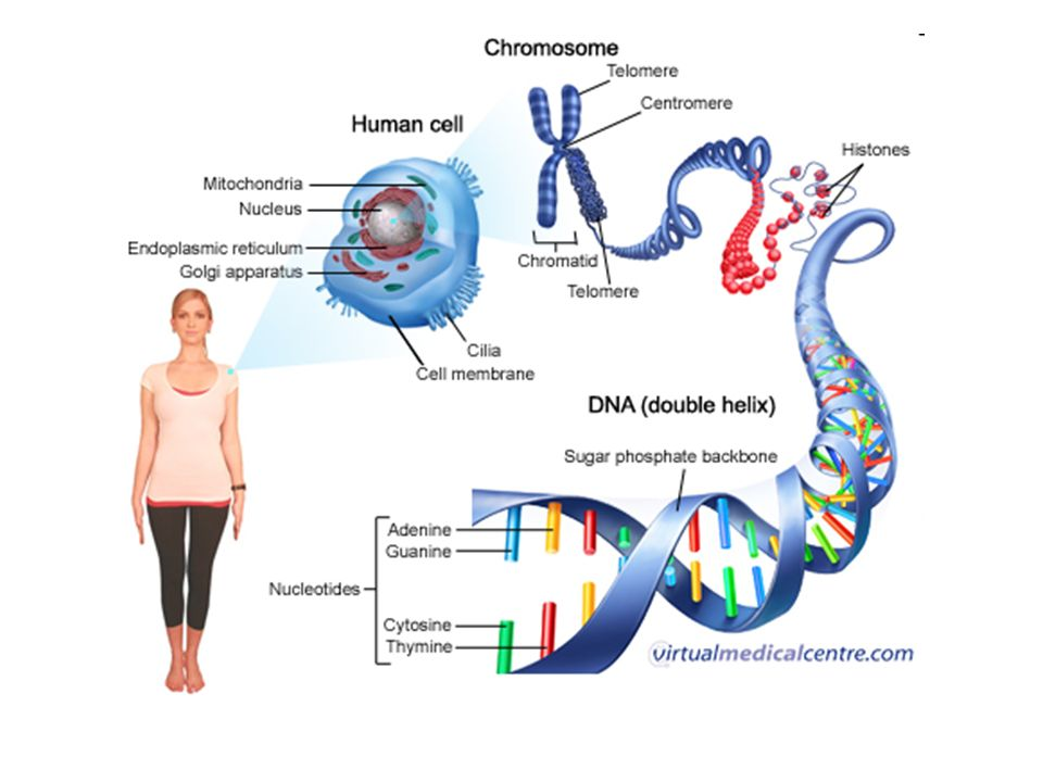 Dna structure dna replication and mitosis dna chromosomes and 4 structure of dna dna is made from nucleotides that have 3 parts 5 carbon sugar deoxyribose phosphate group nitrogen base adenine thymine ccuart Image collections