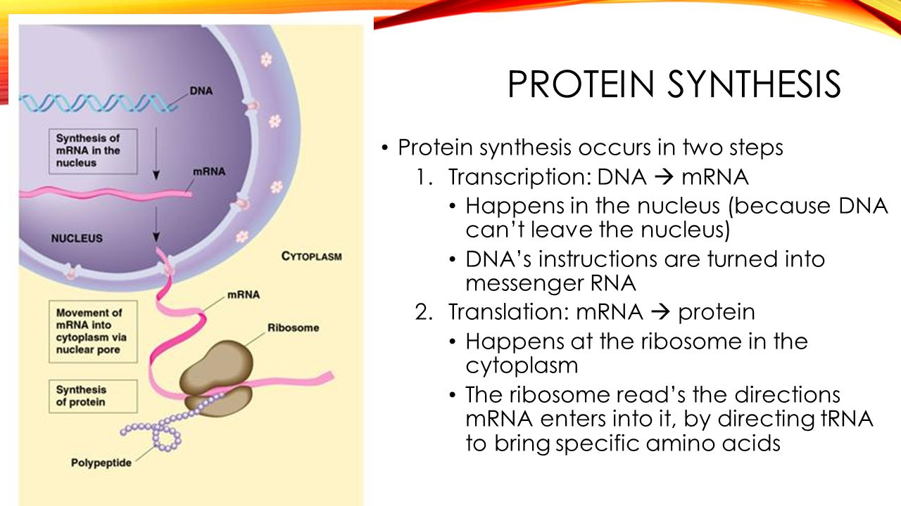 steps of protein sythesis Hi rna acts as the information bridge between dna and protein mrna is the message that carries genetic information from the dna in the nucleus to the cytoplasm trna is the adaptor that reads the mrna and brings the amino acids to the ribosomes for protein synthesis.