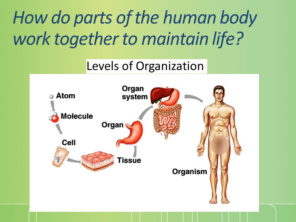 Unit 9 Human Body Part 1 Body Organization And Systems Overview