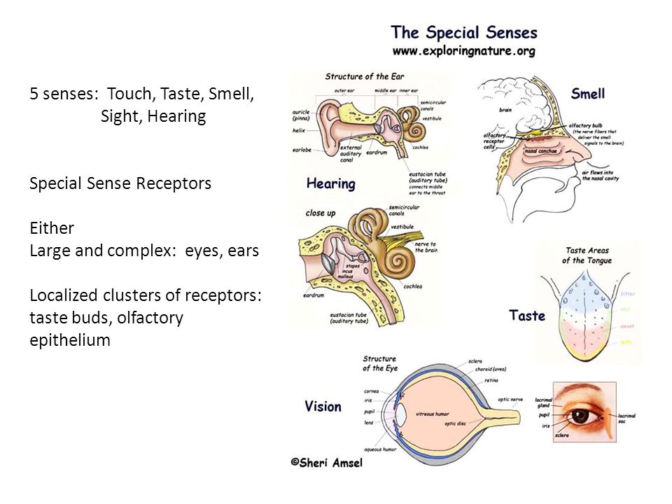 the functions of the eye ear Eyes convert light to a form that can be used by the neurons that serve as messengers to the brain the neurons themselves take up a small percentage of most of the eye is a mechanical device that is similar to a traditional, non-digital electronic camera that uses film most processing of visual images.