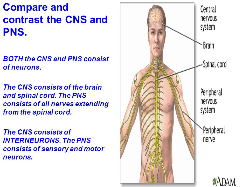the central nervous system consists Central nervous system agents are medicines that affect the central nervous system (cns) the cns is responsible for processing and controlling most of our bodily functions, and consists of the nerves in the brain and spinal cord.