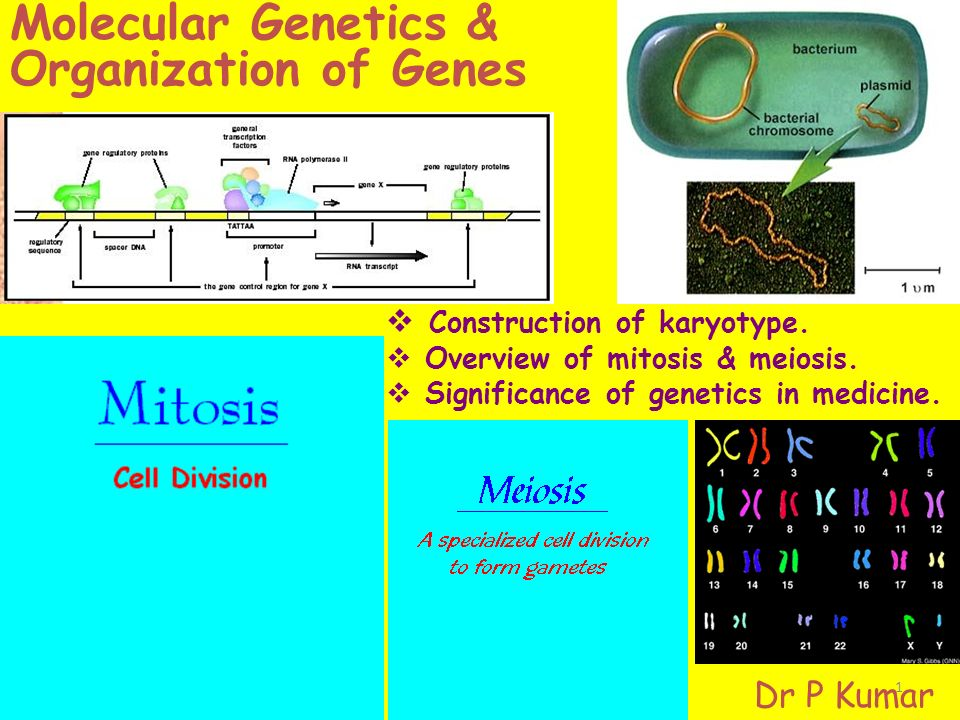 Molecular Geics Organization Of Genes Construction. Worksheet. Worksheet 17 Meiosis Overview At Clickcart.co