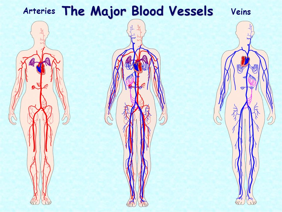 The Circulatory System Is Also Known As The Cardiovascular System